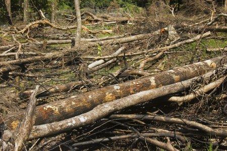 Photo pour Les arbres sont coupés et brûlés pour laisser la place à l'agriculture - image libre de droit
