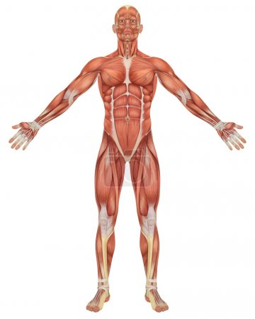 Photo for A illustration of the front view of the male muscular anatomy. Very educational and detailed. - Royalty Free Image