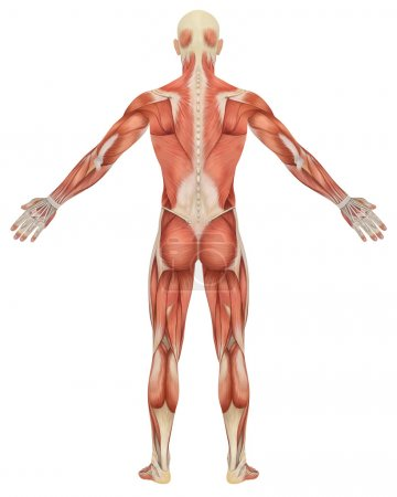 Male Muscular Anatomy Rear View