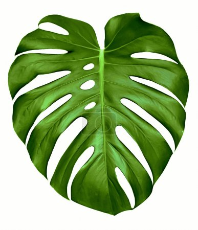 Photo for Big green leaf of Monstera plant, isolated on white. - Royalty Free Image