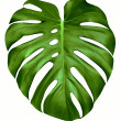 Big green leaf of Monstera plant, isolated on whit...