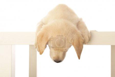 Photo pour Un chiot doux labrador isolé sur blanc - image libre de droit