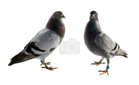 Photo pour Deux pigeons gris isolés sur fond blanc - image libre de droit