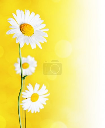 Photo for Daisy flowers on yellow background. - Royalty Free Image