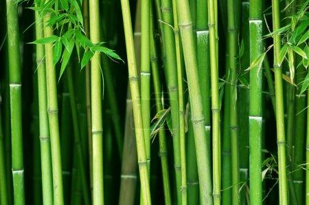 Photo pour Tiges de bambou vert bouchent - image libre de droit