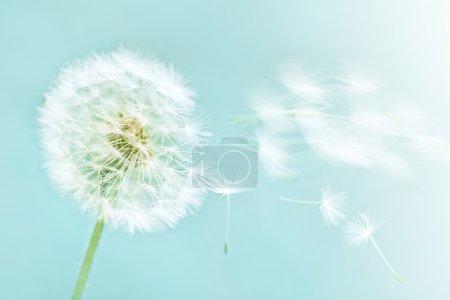 Photo pour Pissenlit sur fond bleu ciel - image libre de droit