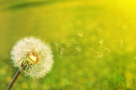 Photo pour Un pissenlit soufflant des graines dans le vent . - image libre de droit