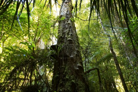 Photo pour Grand arbre dominant dans la forêt - image libre de droit