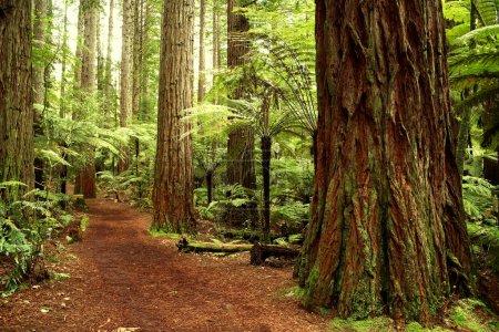 Photo pour Forêt de séquoias - image libre de droit