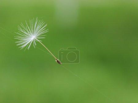Dandelion parachute