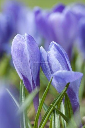 Close-up of spring crocus flower