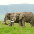 Постер, плакат: Two african elephants walking in savannah Photo is taken in Ngo