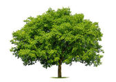 Beautiful deciduous tree on white