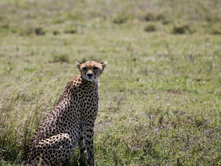 Cheetah missed her prey and needs rest after a hard run