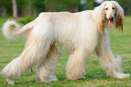 An afghan hound dog walking on the lawn...