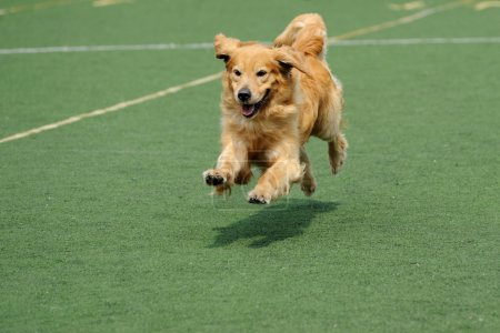 Golden retriever dog running