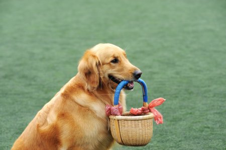 Golden retriever dog holding a basket in its mouth