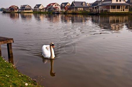 Photo pour Cygne flottant sur le canal dans un village néerlandais., Pays-Bas (Hollande ). - image libre de droit
