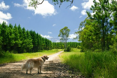 Golden retriever standing on a forest path