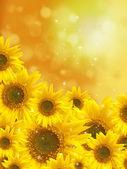 Banda slunečnice
