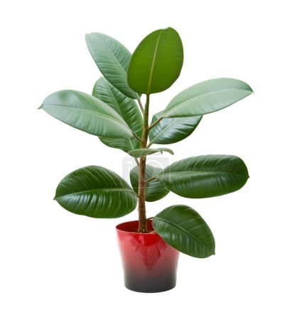Photo for Rubber plant (ficus), isolated on white - Royalty Free Image