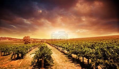 Photo for Beautiful scenic vineyard with stormy sunset sky - Royalty Free Image