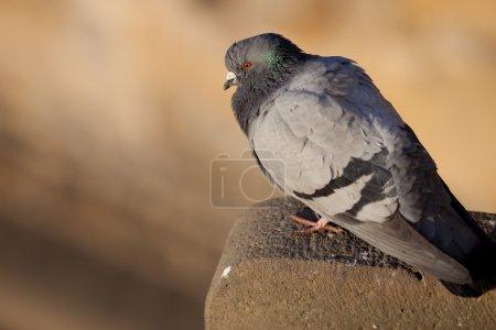 Photo pour Pigeon (Columba palumbus) - image libre de droit