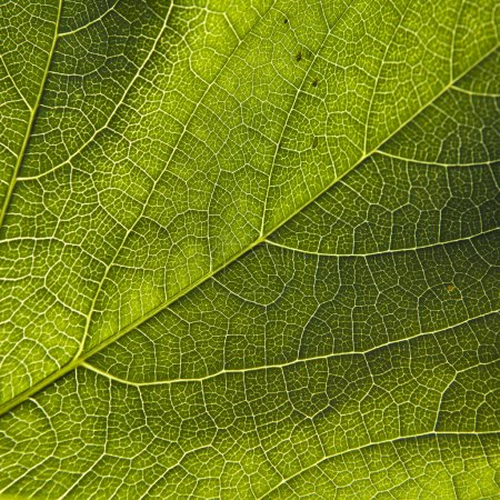 Green leaf close-up