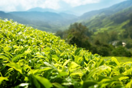 Photo for Tea (shallow DOF) plantation Cameron highlands, Malaysia - Royalty Free Image