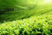 Tea plantation Cameron highlands, Malaysia (shallow DOF)