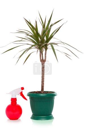 Dracaena palm spray bottle, isolated