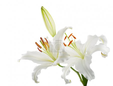 Flowers white lilies