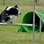 A border collie during an agilty dog show in Terni...