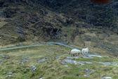 Ovce v gap of dunloe