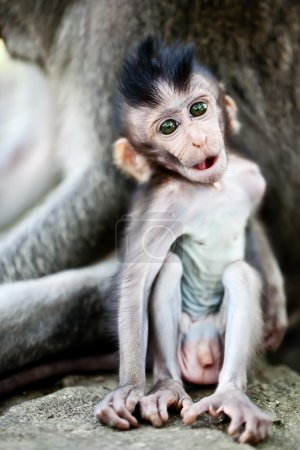 Cute baby macaque monkey sitting near the mother...