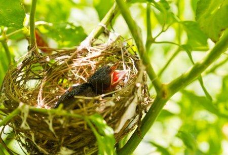 Photo pour Robins dans un nid voulant que la mère oiseau vienne les nourrir - image libre de droit