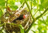 Baby červenky v hnízdě