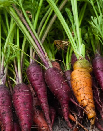 Photo for One orange carrot among a bunch of purple carrots that have just been pulled from the garden with the greens still attached. - Royalty Free Image