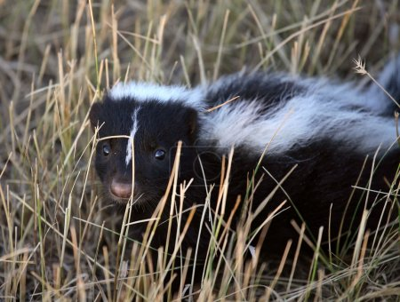 Young skunk in a Saskatchewan roadside ditch