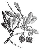 American Hawthorn or Crataegus crus-galli vintage engraving