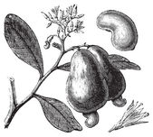 Occidental cashew or Anacardium occidentale tree apple and nuts