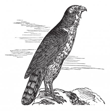 Northern Goshawk or Accipiter gentilis. Vintage engraving.