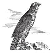 Northern Goshawk or Accipiter gentilis Vintage engraving