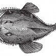 The American anglerfish, Goosefish, All-mouth, Fis...