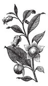 Belladona or Deadly Nightshade or Atropa belladonna vintage engraving Old engraved illustration of Belladona plant showing flowers