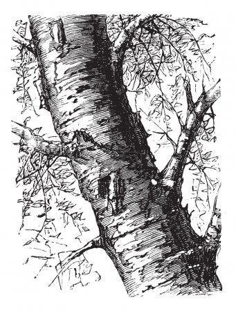 White Birch or Betula papyrifera, tree, trunk, vintage engraving