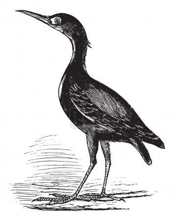 Eurasian Bittern or Botaurus stellaris, bird, vintage engraving.
