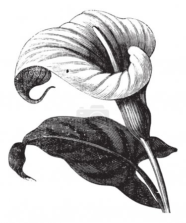 Illustration for Zantedeschia aethiopica also known as Richardia Africana, flower, vintage engraved illustration of Zantedeschia aethiopica, flower, isolated against a white bac - Royalty Free Image