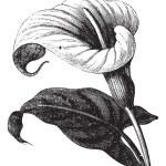 Zantedeschia aethiopica also known as Richardia Af...