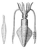 European Squid or Loligo vulgaris Squid vintage engraving
